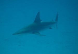 diving volunteer protect sharks near sipadan